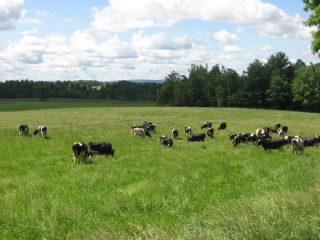 organic valley cows