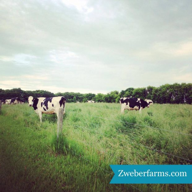 organic dairy cows